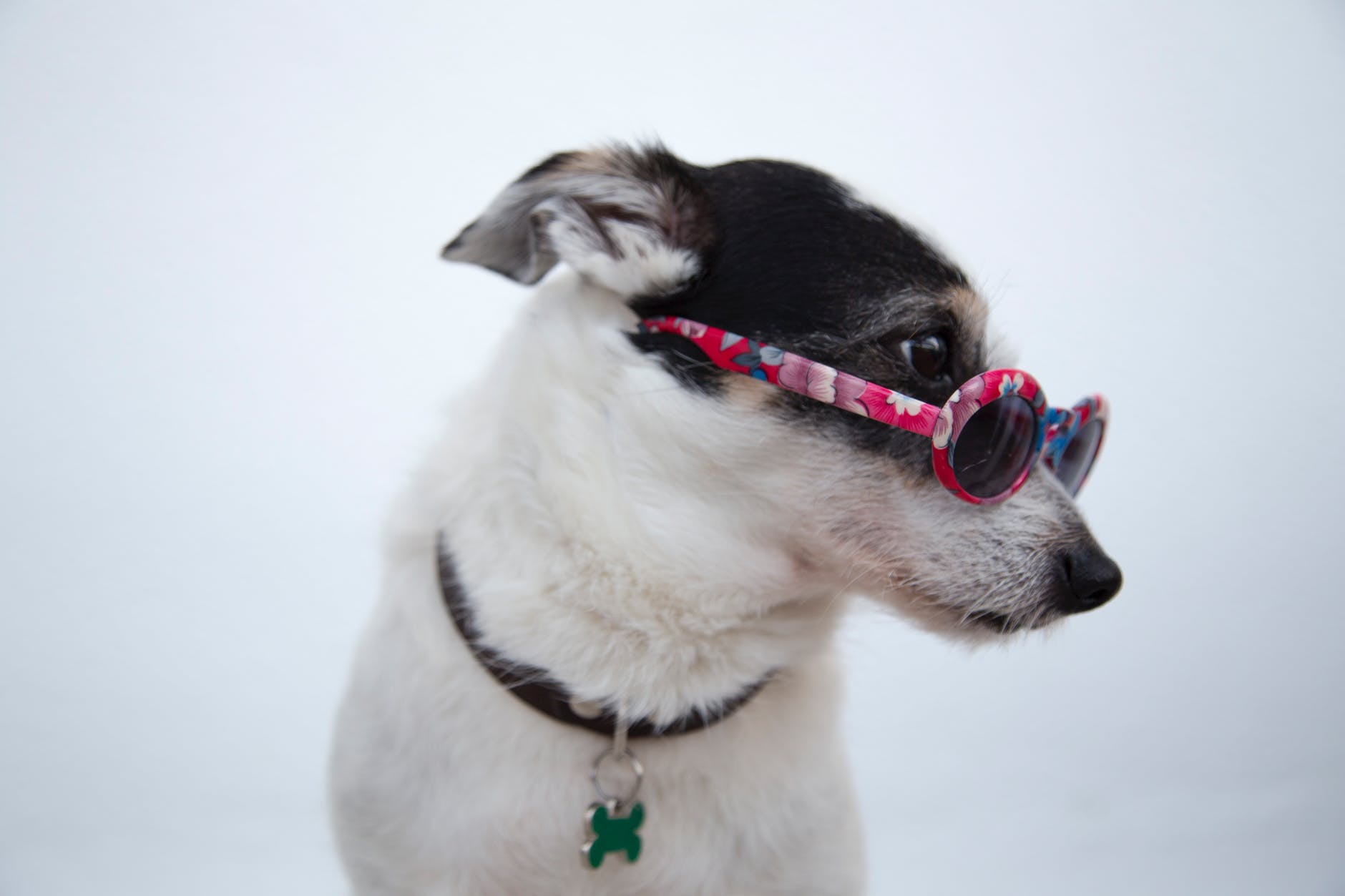Weißer Hund mit Sonnenbrille