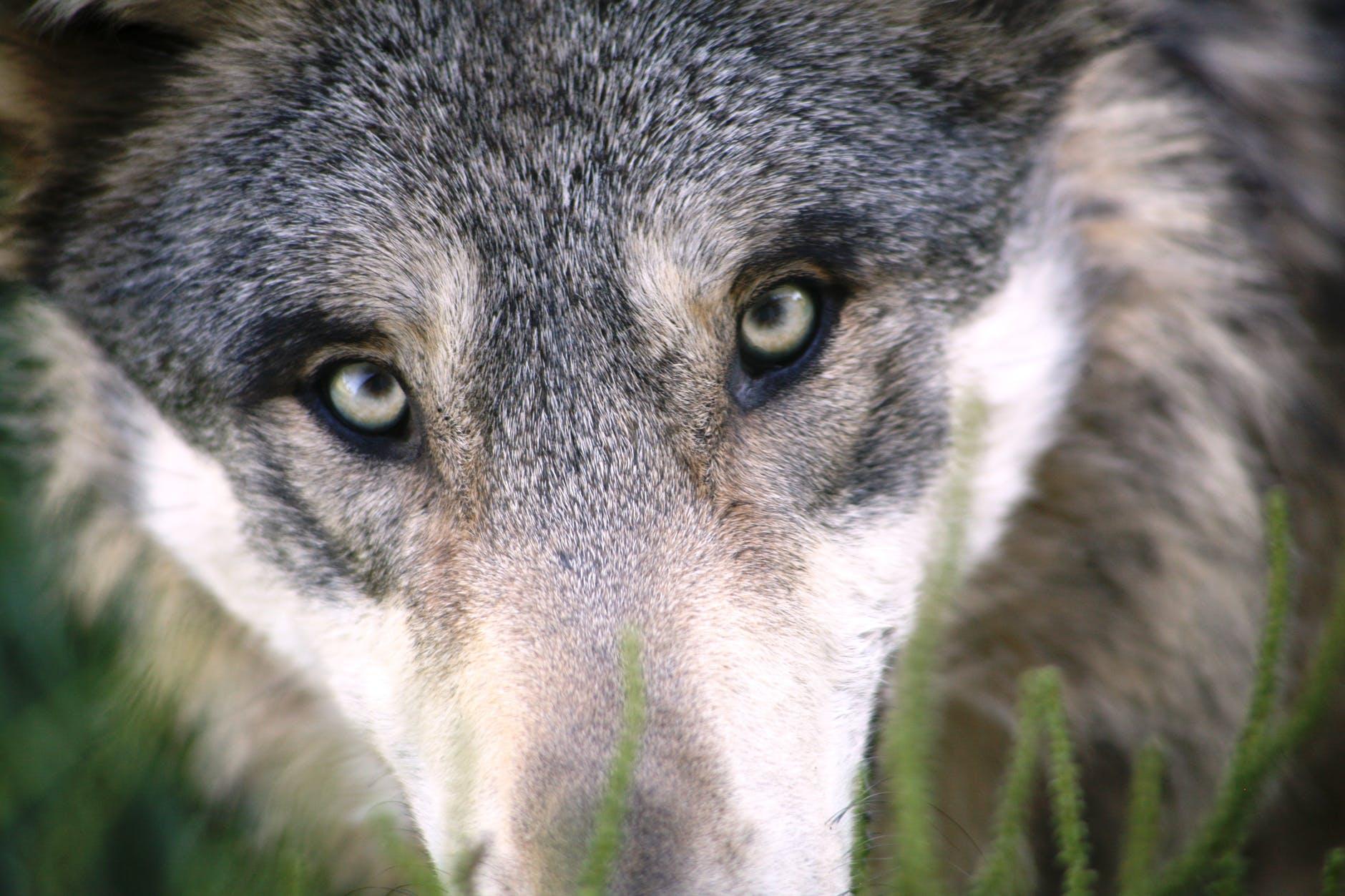 Ein Wolfsgesicht